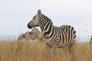 Three Zebras, Focus on the Front One