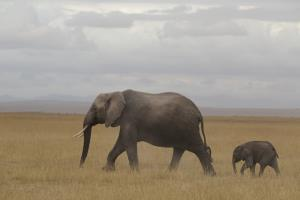 Mom Elephant with Calf Following