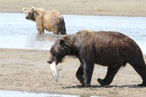 Bigger Grizzly Gets Salmon!