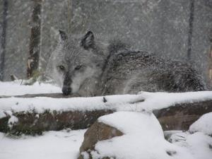 West Yellowstone, MT Wolf in Snow